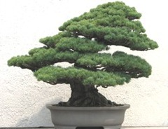 Bonsai_A